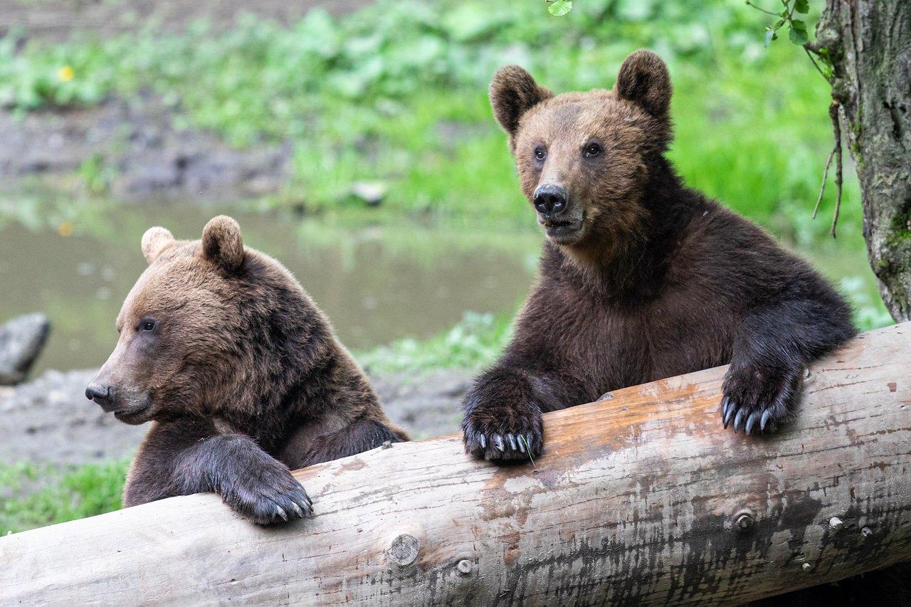 Фото — Bear Watching.