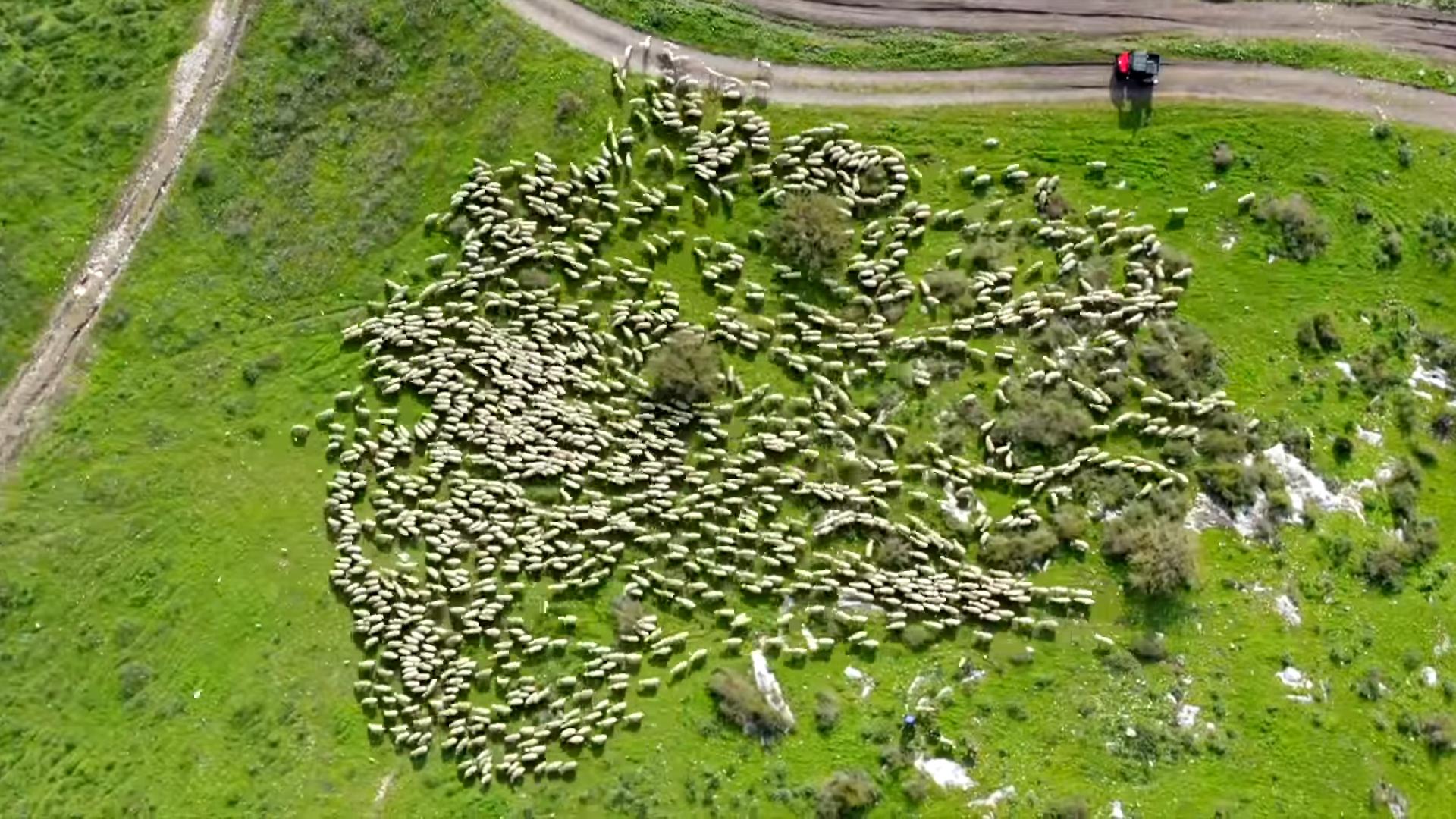 Видео дня. Израильский фотограф семь месяцев снимал стадо овец с дрона, и вот что получилось