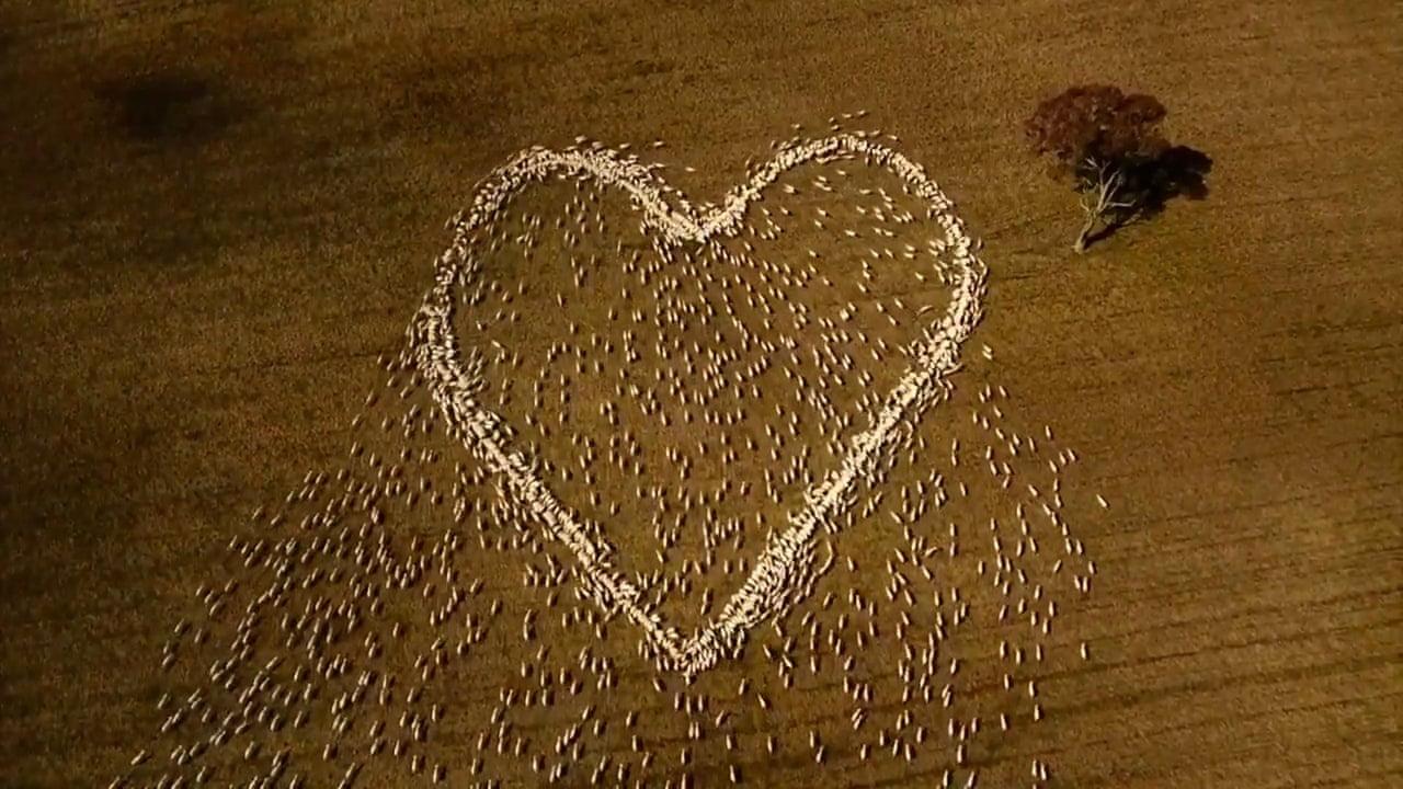 Австралийский фермер «нарисовал» сердце овцами. В память о тете