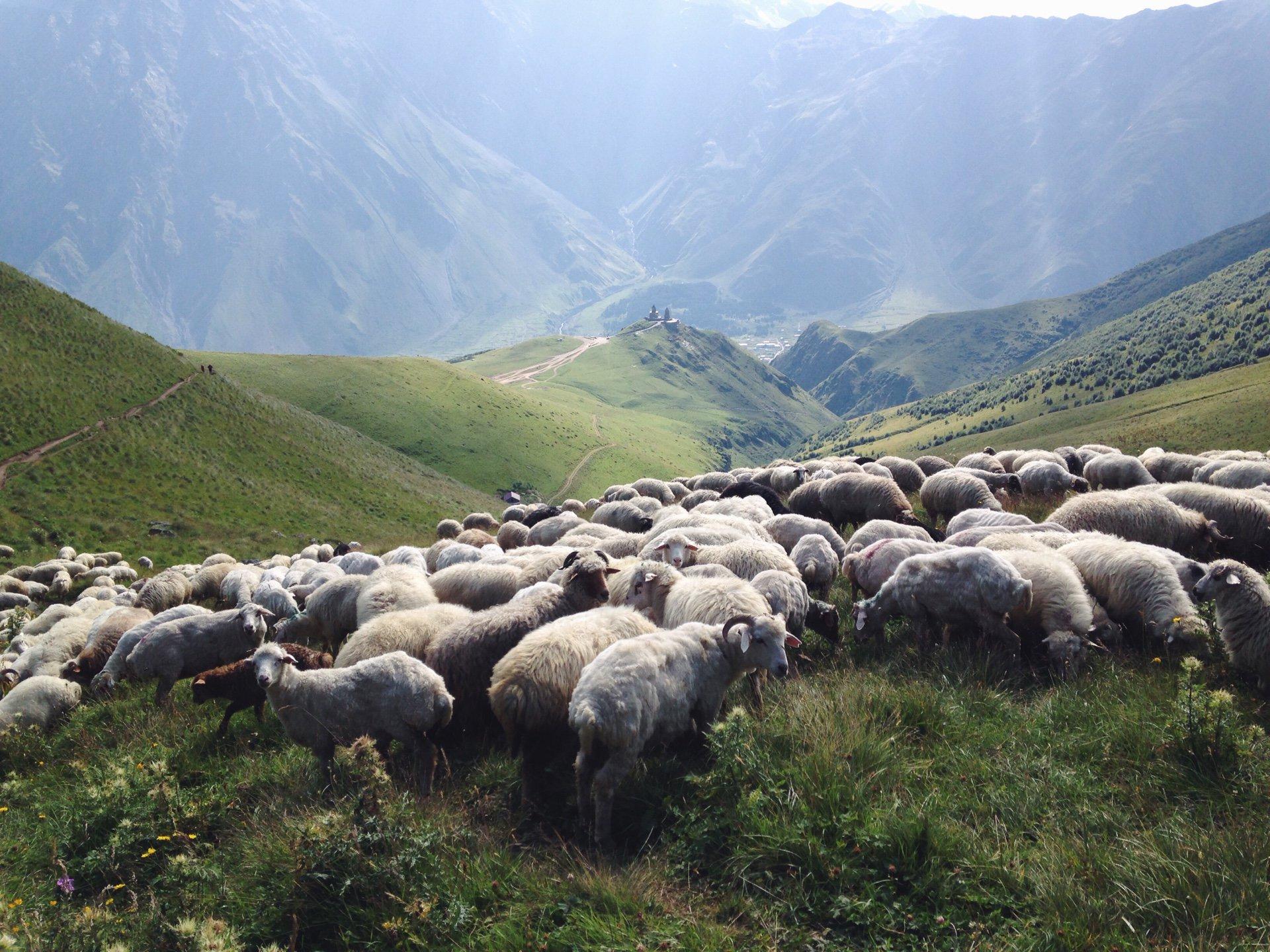 В Грузии молния убила свыше полутысячи овец