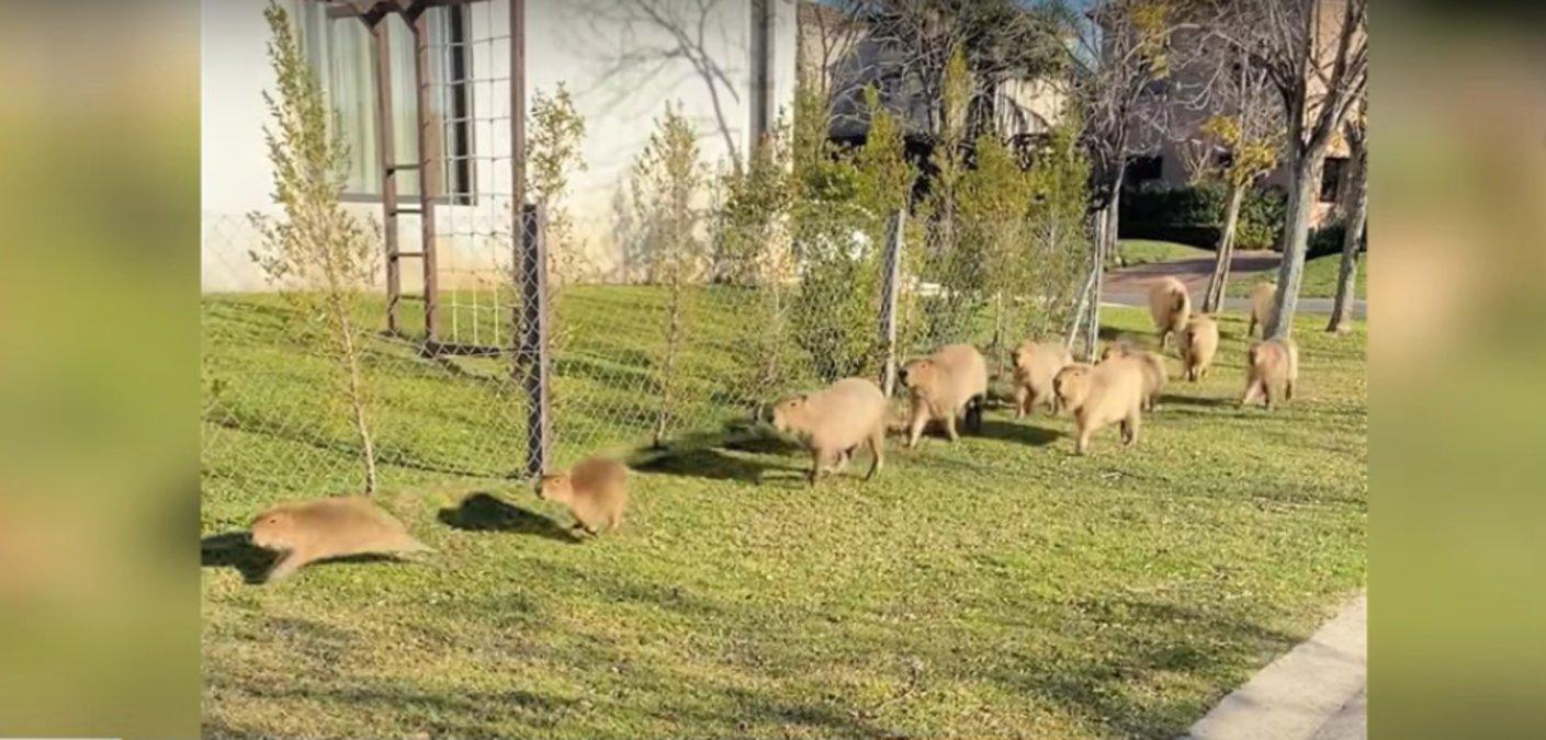 В Аргентине капибары «захватили» элитный район
