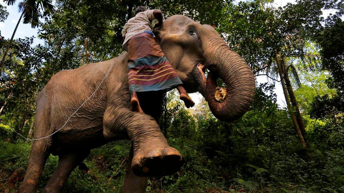 Шри-Ланка запретила пьяное вождение на слонах