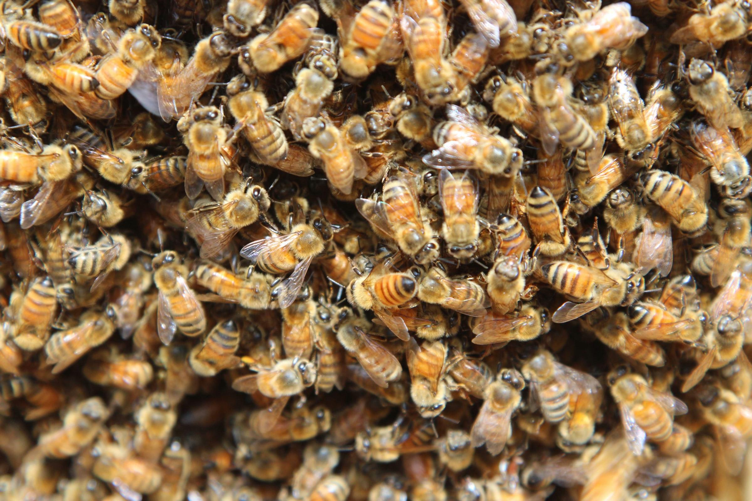 Семейная пара из США нашла в своем доме 450 000 пчел