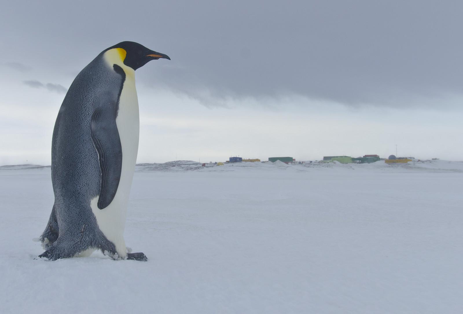 98% колоний императорских пингвинов исчезнут через 80 лет. Исследование
