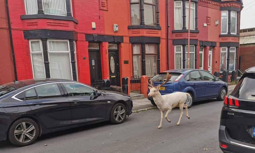 Английские полицейские подстрелили редкого белого оленя, который бегал по городу