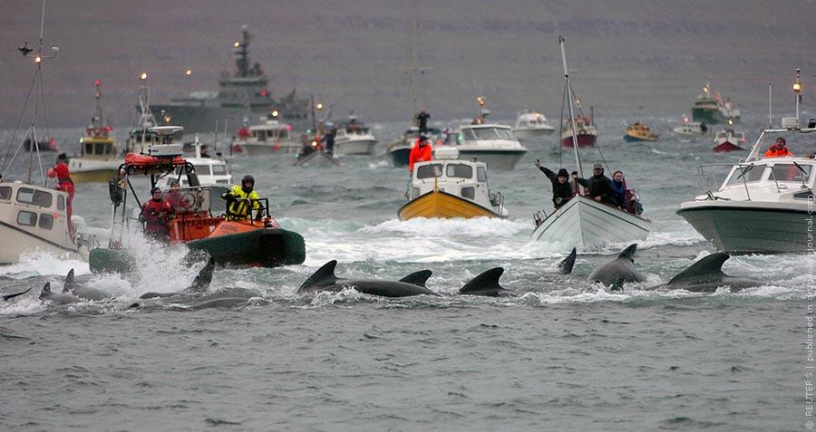 На Фарерских островах убили 1500 дельфинов. Это вообще законно?