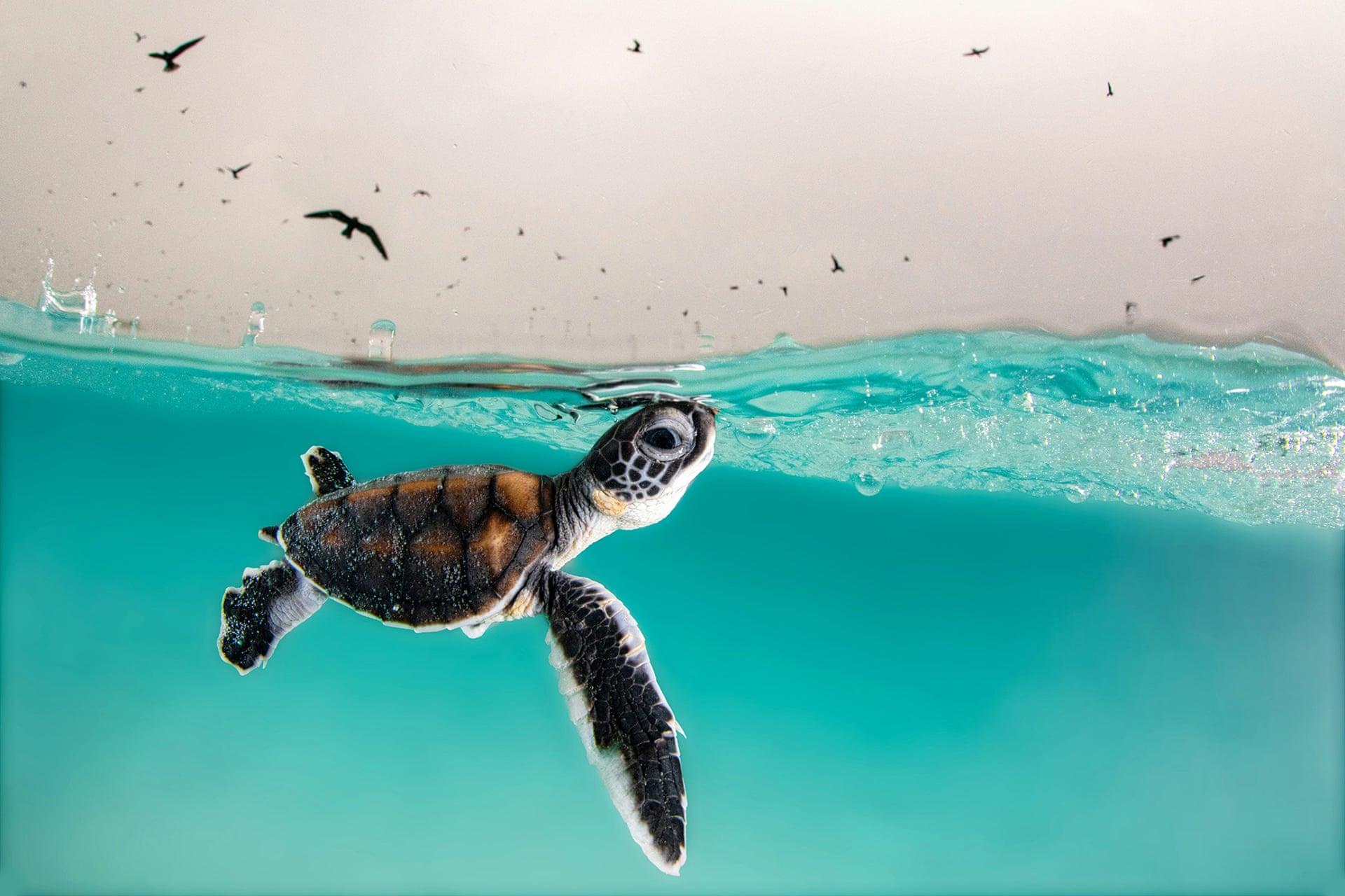 Маленькая зеленая морская черепаха выходит на поверхность в поисках воздуха на острове Херон, Квинсленд, Австралия. Победитель в номинации «Юный фотограф». Фото — Hannah Le Leu.