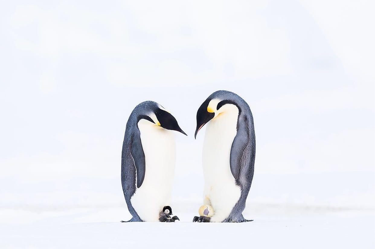 Два пингвина в Антарктиде. Победитель в номинации «Коллективное портфолио». Фото — Stefan Christmann.