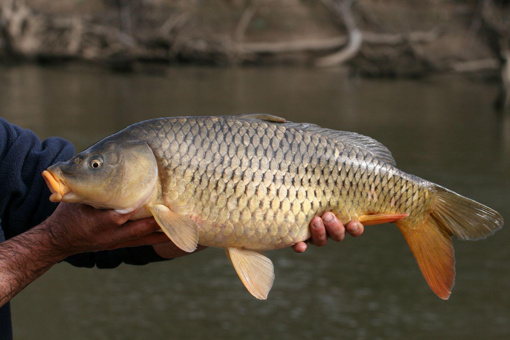 Фото — National Carp Control Plan.