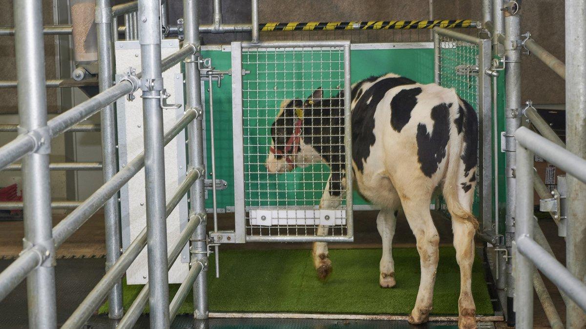 Ученые приучают коров к туалету ради спасения климата. Исследование