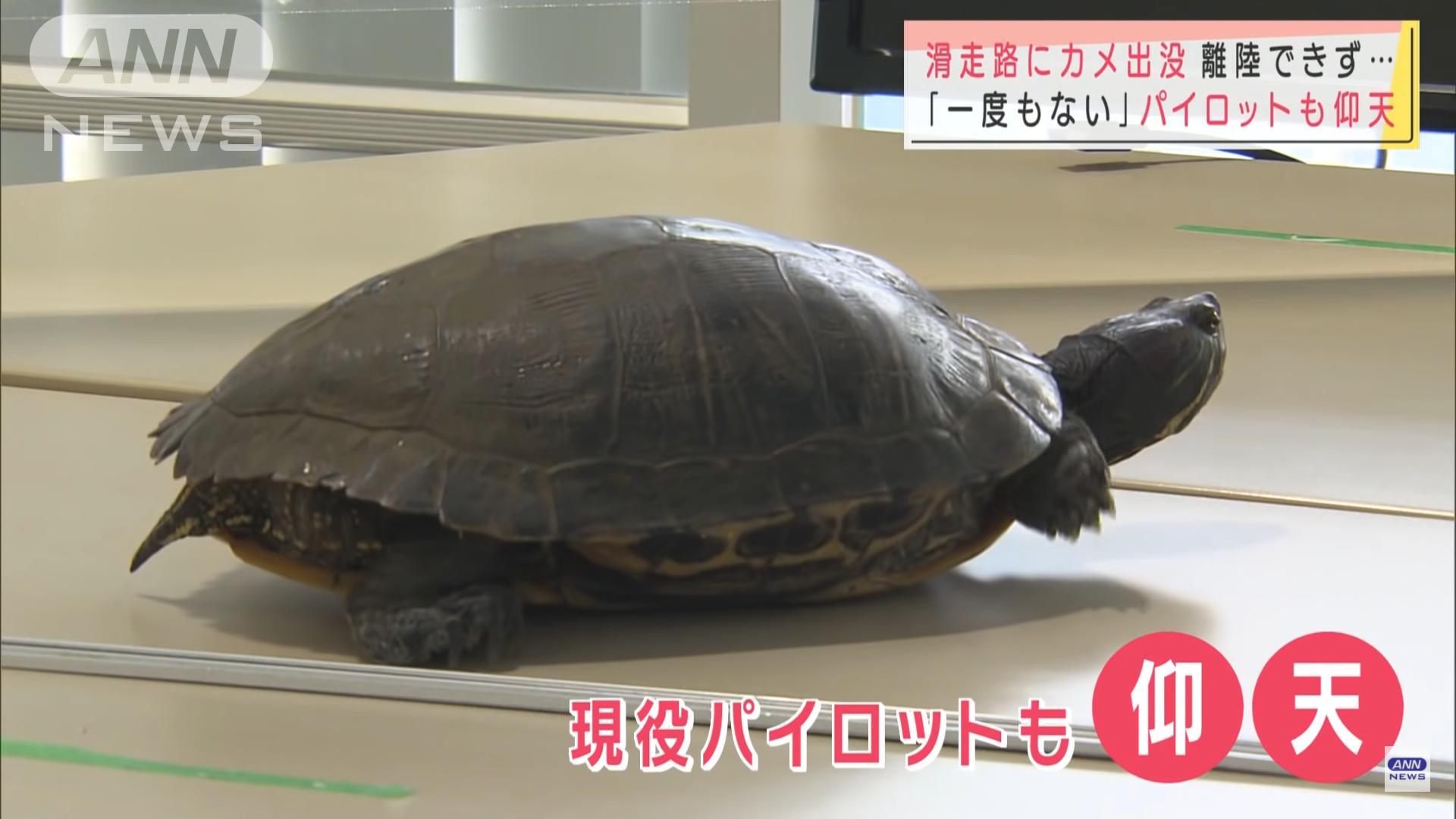 Черепаха задержала пять рейсов в аэропорту Японии. Она гуляла по взлетке