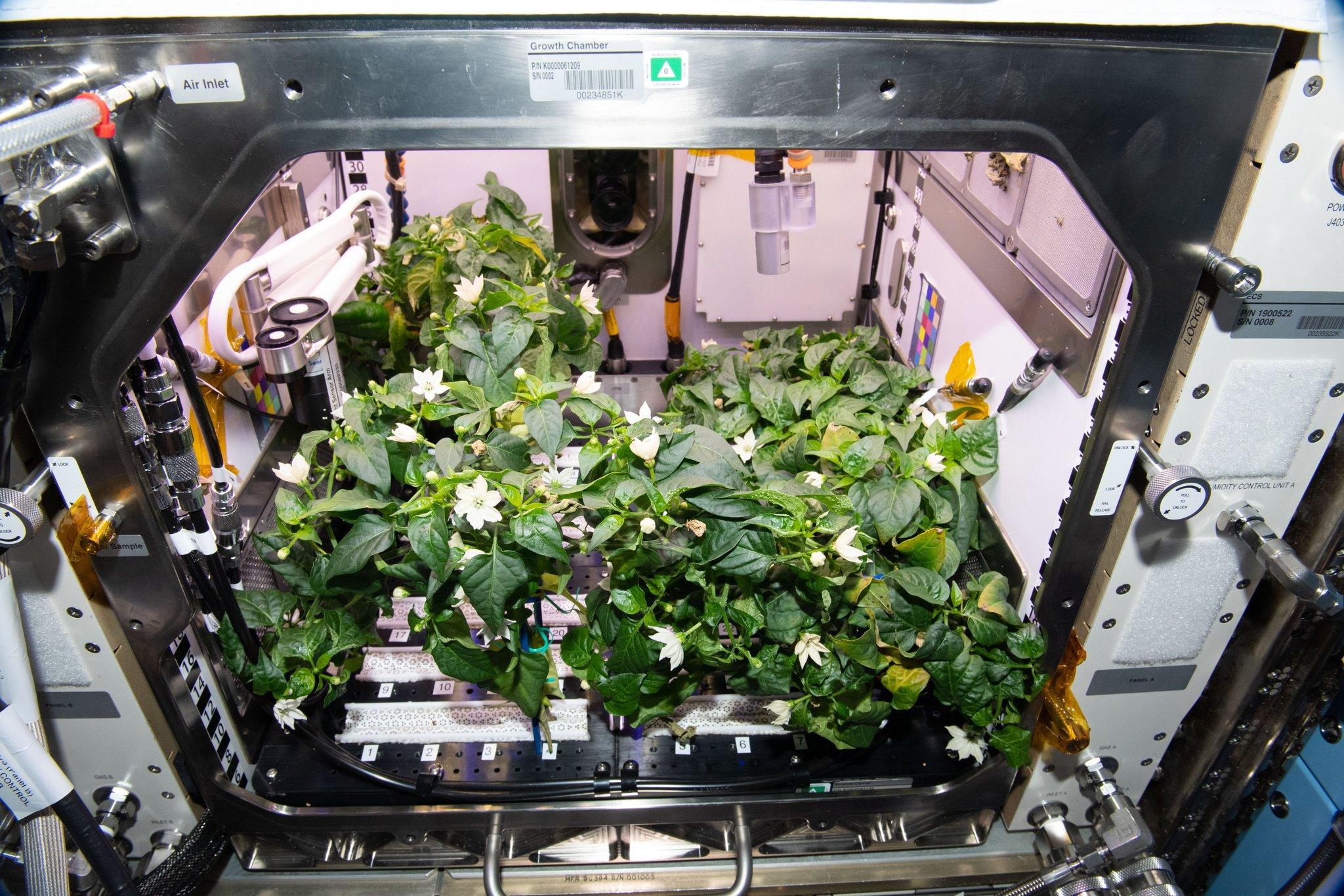 Астронавты NASA впервые смогли вырастить перец чили на борту МКС